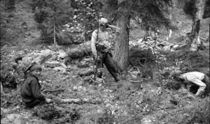Tankavaaran kultakuusikosta 1930-luvun lopulta